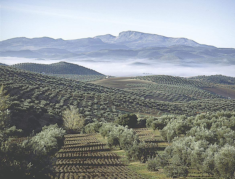 L' huile d'olive andalouse : une huile de prestige