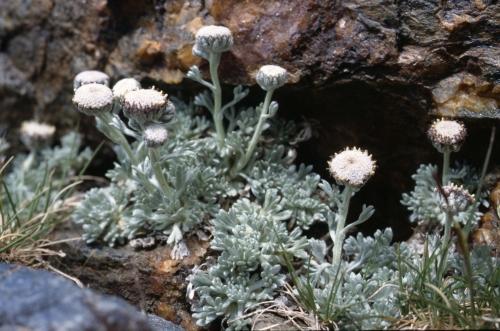 Artemisia granatensis (Absinthe)